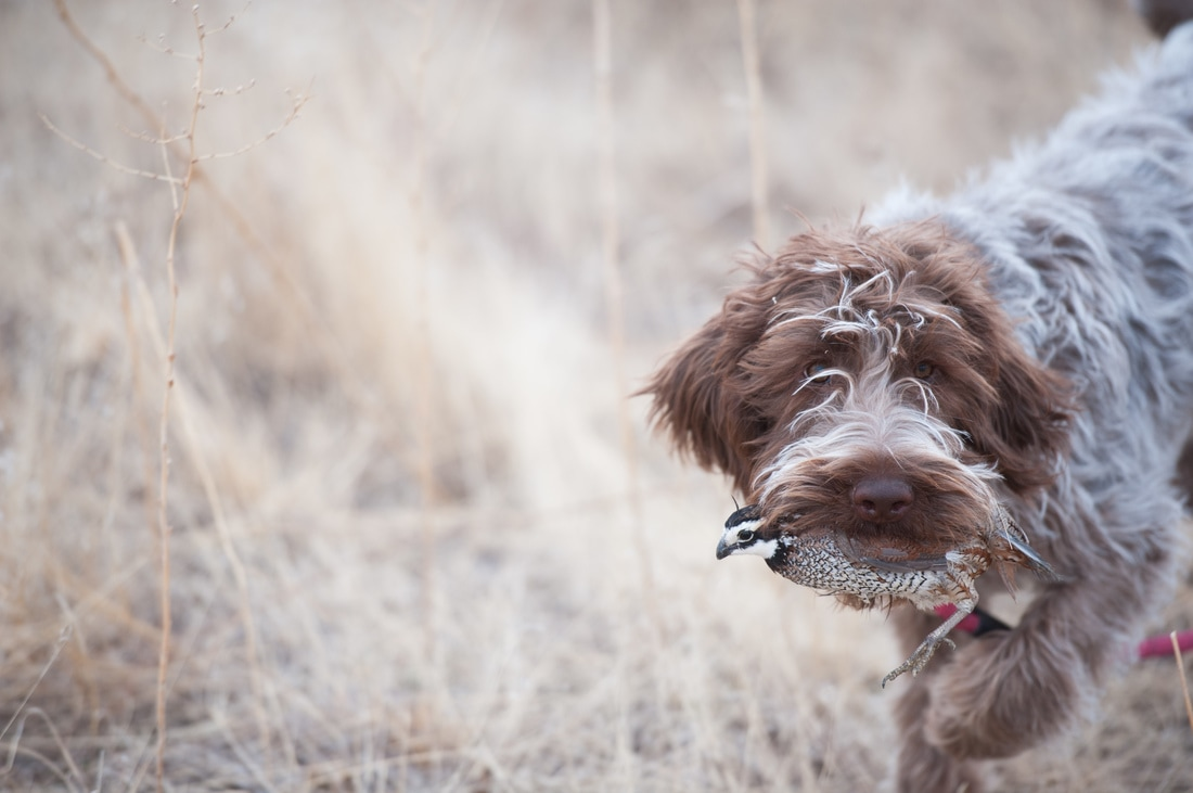 FALL FEMALE PUPS - Welcome to Wirehaired Griffons of Colorado